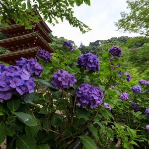 紫陽花咲く長谷寺(前編・回廊~五重塔付近)