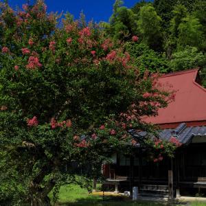 満寿寺のサルスベリとキバナコスモス