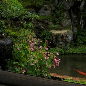 実光院の秋海棠