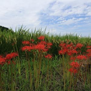明日香・細川の彼岸花たち
