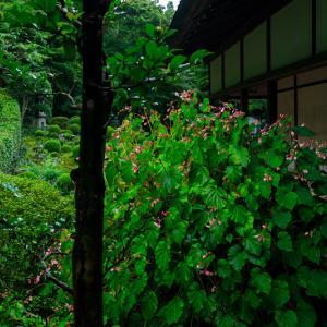 三千院の秋海棠