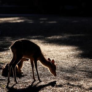 鹿のいる朝の情景(春日大社)