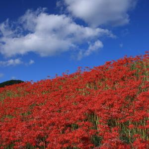 彼岸花咲く大原の里山