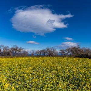 早春の菜の花(びわ湖なぎさ公園)