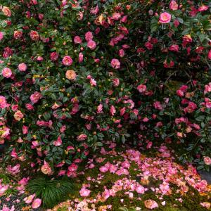 五色八重散椿の地蔵院