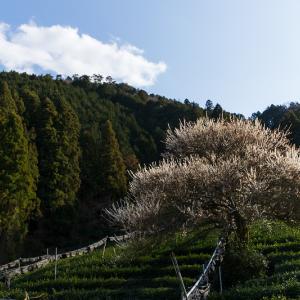 孤高の白梅と遍照院の春(宇治田原町)