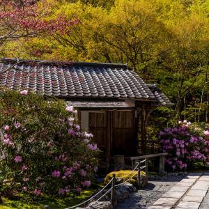 石楠花と春の山野草咲く古知谷阿弥陀寺