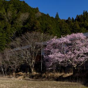 2021桜咲く奈良 丹生小学校跡の桜たち