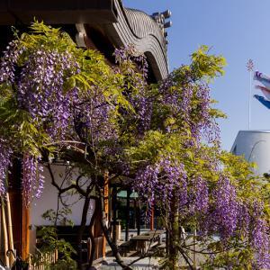 藤咲く西院春日神社