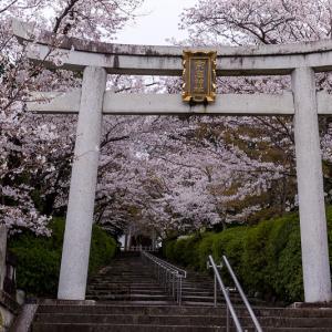 2021桜咲く京都 桜咲く参道(宗忠神社)