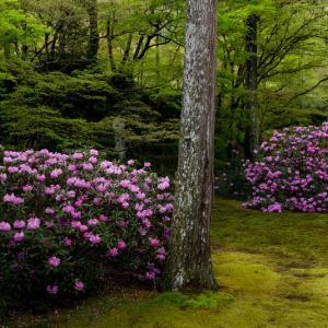 石楠花と春の花咲く三千院