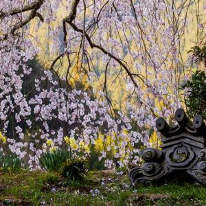 2021桜咲く奈良 春爛漫の悟真寺