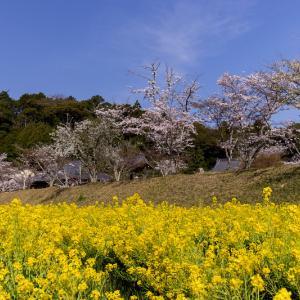 2021桜咲く京都  桜と菜の花畑(京田辺市・大御堂観音寺)