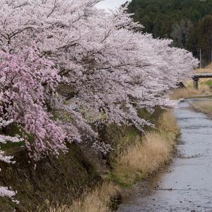 2021桜咲く京都  桜咲く弓削川