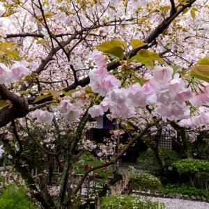 2021桜咲く京都 雨宝院の歓喜桜・観音桜