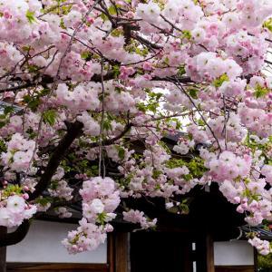 2021桜咲く京都 八重桜・妙蓮寺