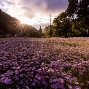 2021夏の花畑 久多の北山友禅菊