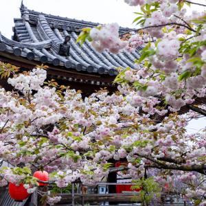 2021桜咲く京都 千本ゑんま堂の普賢象桜