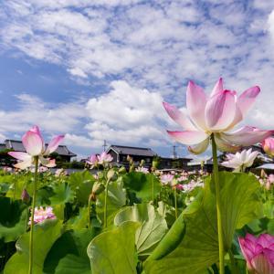2021夏の花畑 蓮畑とひまわり畑(橿原市一町)