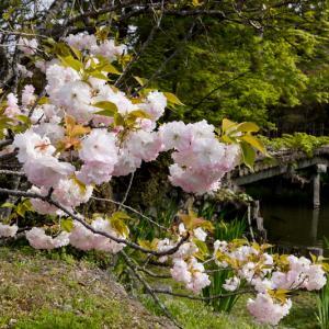2021桜咲く京都 梅宮大社の普賢象と春の花々