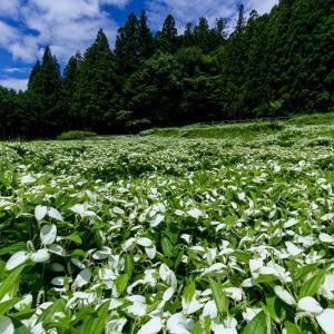 2021夏の花畑 御杖村岡田の谷の半夏生