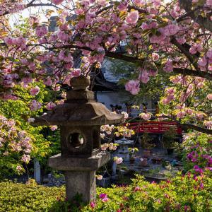 2021桜咲く京都 六孫王神社の八重桜と藤