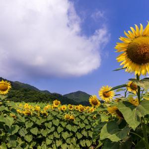 2021夏の花畑 ひまわり畑(近江八幡市)