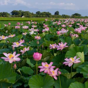 2021夏の花畑 南津田町の蓮畑