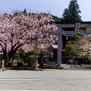2021桜咲く京都 京北・春日神社の黒田百年桜