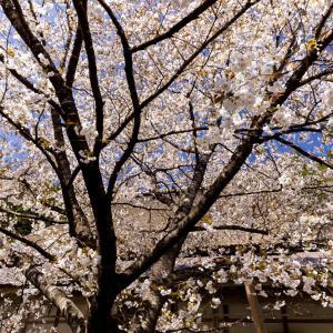 2021桜咲く京都 京北・常照皇寺の御車返しの桜