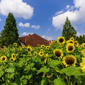 2021夏の花畑 ブルーメの丘の向日葵と百日草