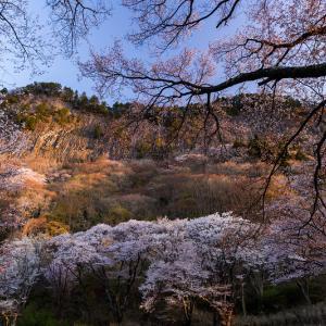 2021桜咲く奈良 屏風岩公苑の星と桜