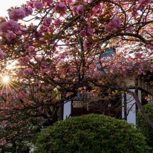 2021桜咲く京都 晩春・本満寺
