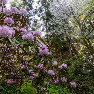 石楠花と春の花咲く岡寺