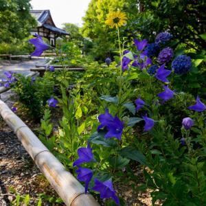 夏の花咲く上品蓮台寺