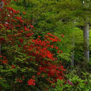 キリシマツツジと春の花咲く三千院