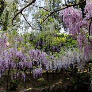 春日大社萬葉植物園の藤