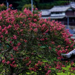 山寺の百日紅