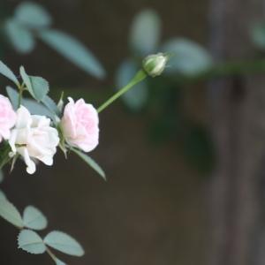 秋バラとワンコ