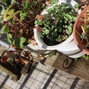 ベランダの植物はすっかり冬だけど・・・。