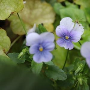 紫陽花アフロ♪とタラの木