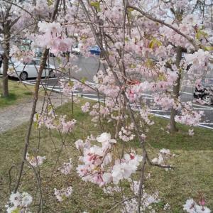 あっぷむら 桜