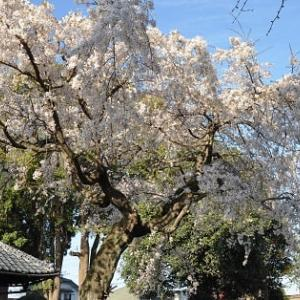 桜の花に癒されて2019①生品神社