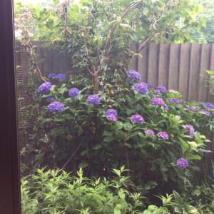 雨の日に 紫陽花