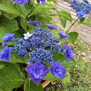 今日のお庭の お花