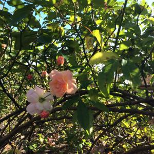 薔薇の お花と 薔薇の 実