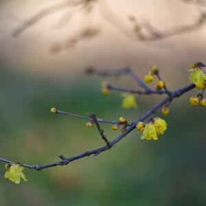"""暖冬の""""蝋梅""""と""""梅""""の花"""