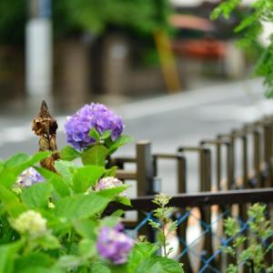 Sunday morning の 紫陽花から        2勝1敗