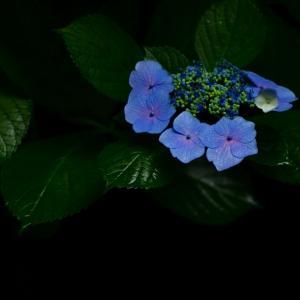 雨上がりの紫陽花 at 清水公園      3打数3安打