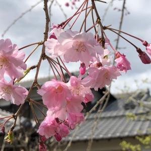 しだれ桜とおうち花見